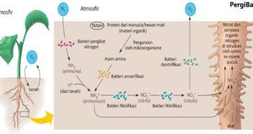 siklus daur nitrogen dan penjelasannya