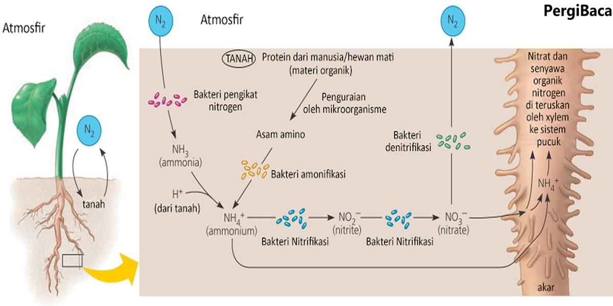 Siklus Daur Nitrogen Singkat Beserta Penjelasannya Pergibaca